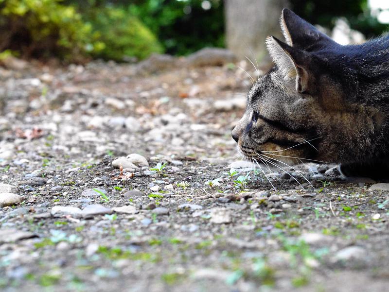境内キジトラ猫真剣3
