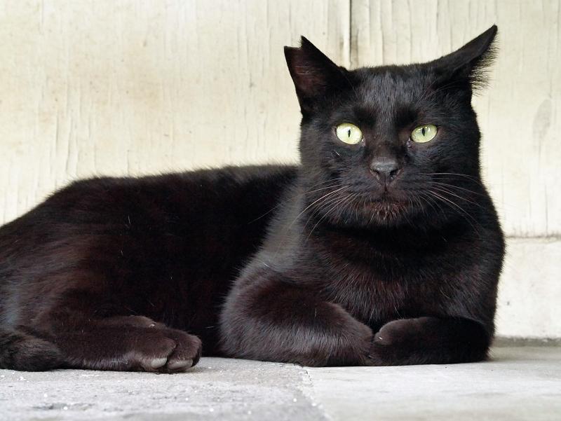 何かを真剣に見上げている黒猫2