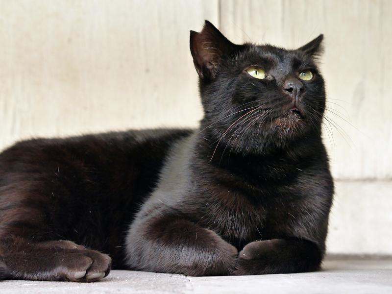 何かを真剣に見上げている黒猫3