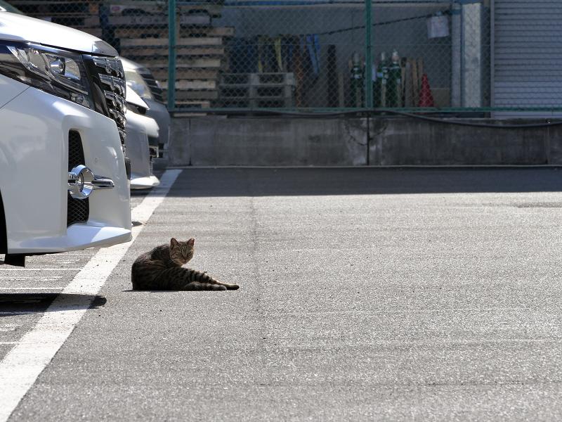 朝日駐車場キジトラ猫1
