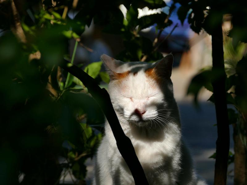 木漏れ日の白茶猫1