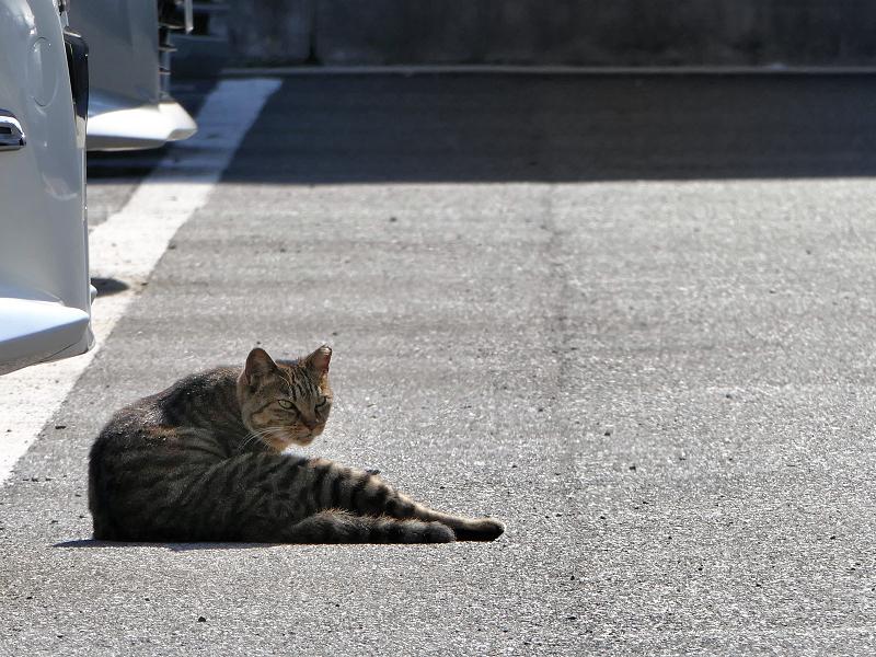 朝日駐車場キジトラ猫2
