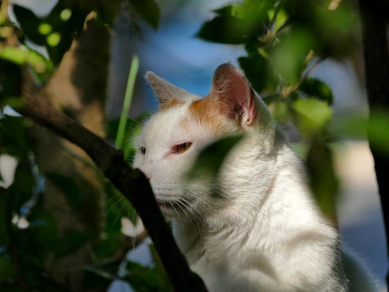 木漏れ日の白茶猫2