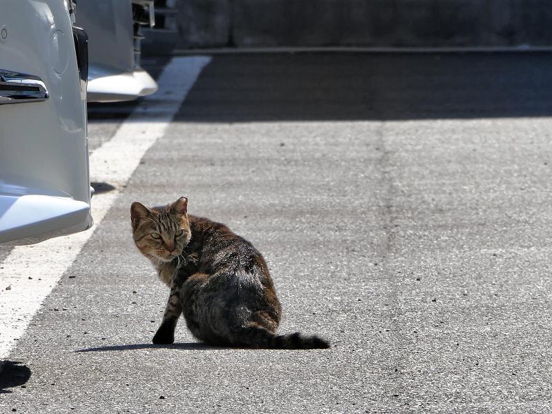 朝日駐車場キジトラ猫3