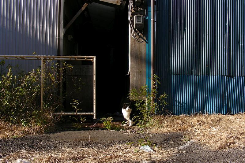 空き地に出てきた黒白猫1