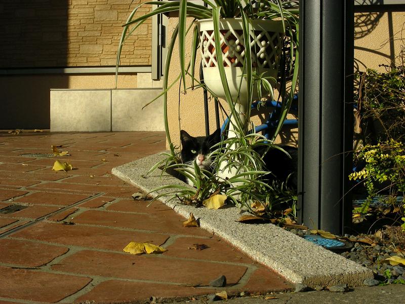 町なか植込み黒白猫2