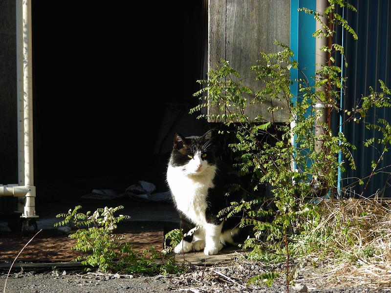 空き地に出てきた黒白猫2