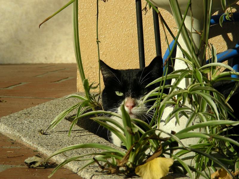 町なか植込み黒白猫3