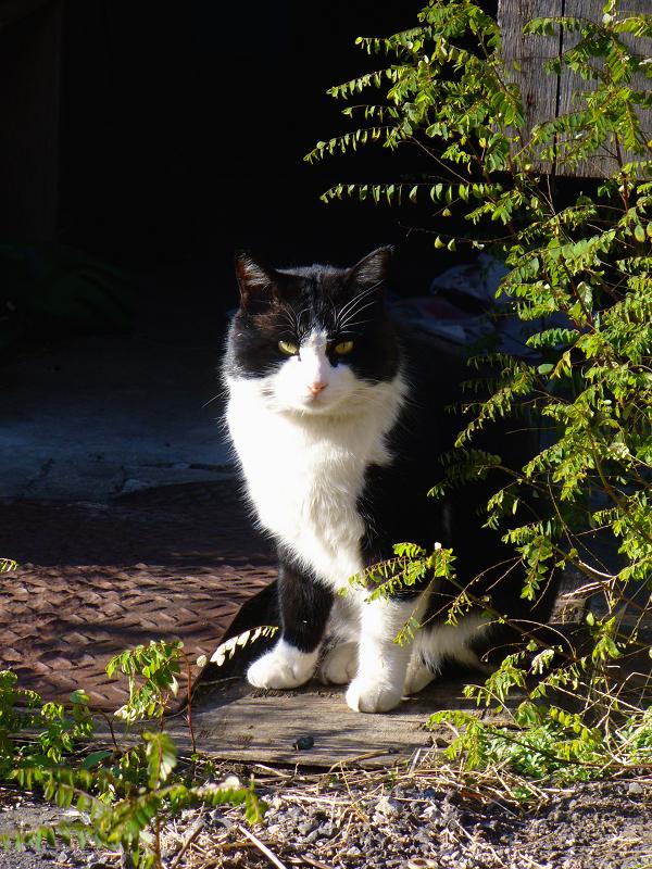 空き地に出てきた黒白猫3