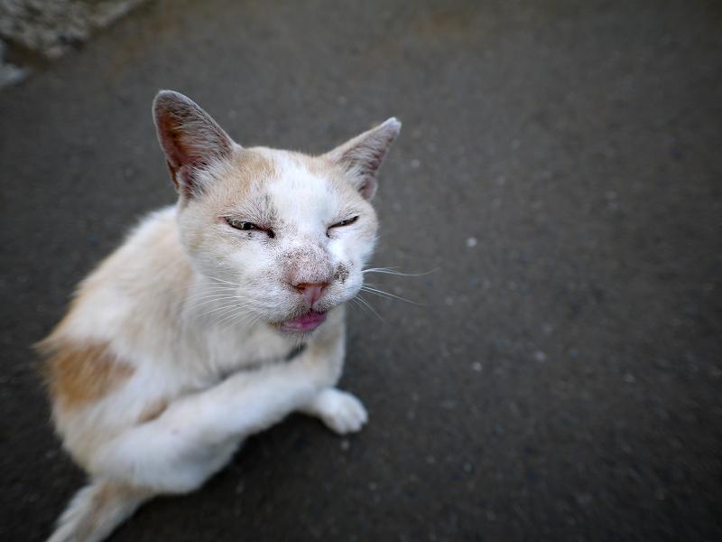 白茶猫カキカキハイアングル