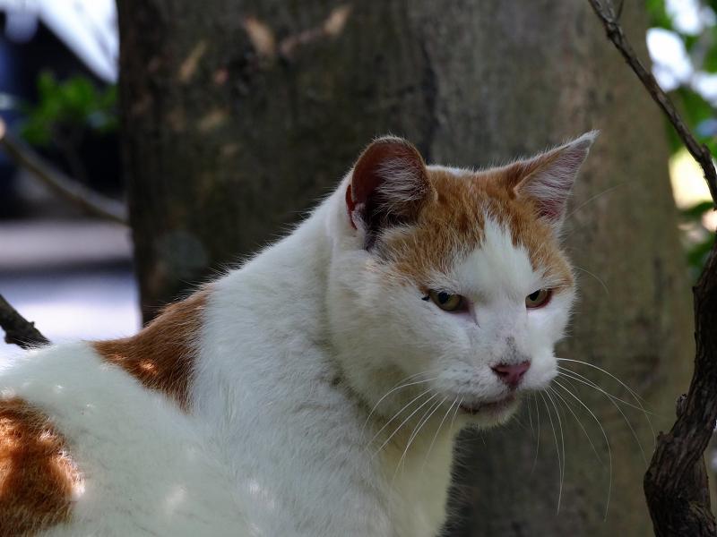 木の根元の白茶猫1