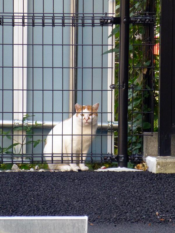 金網越フェンス茶白猫
