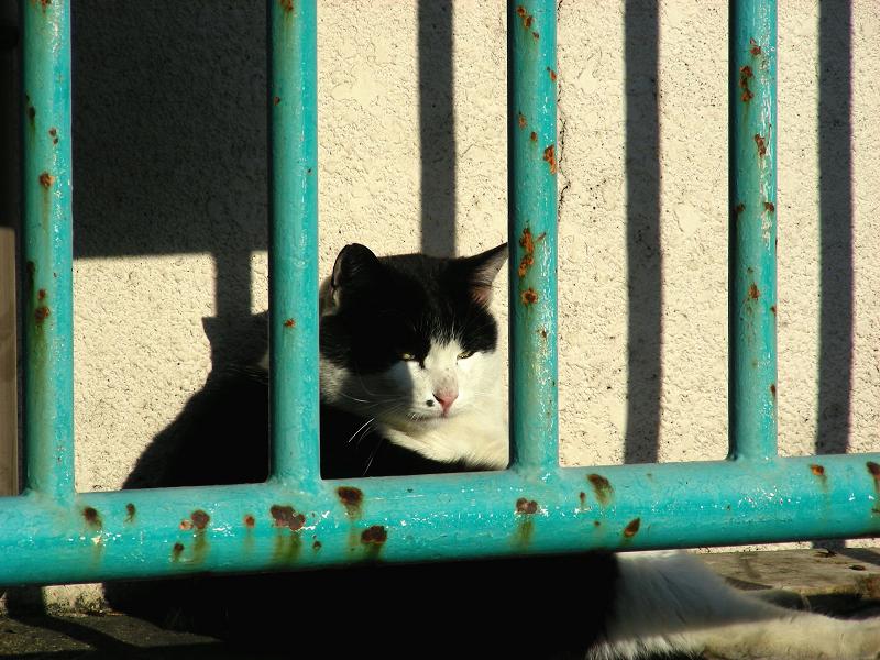 緑の柵と黒白猫1
