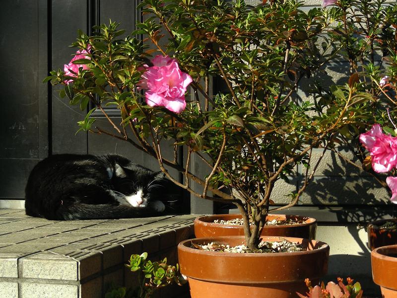 民家玄関黒白猫2