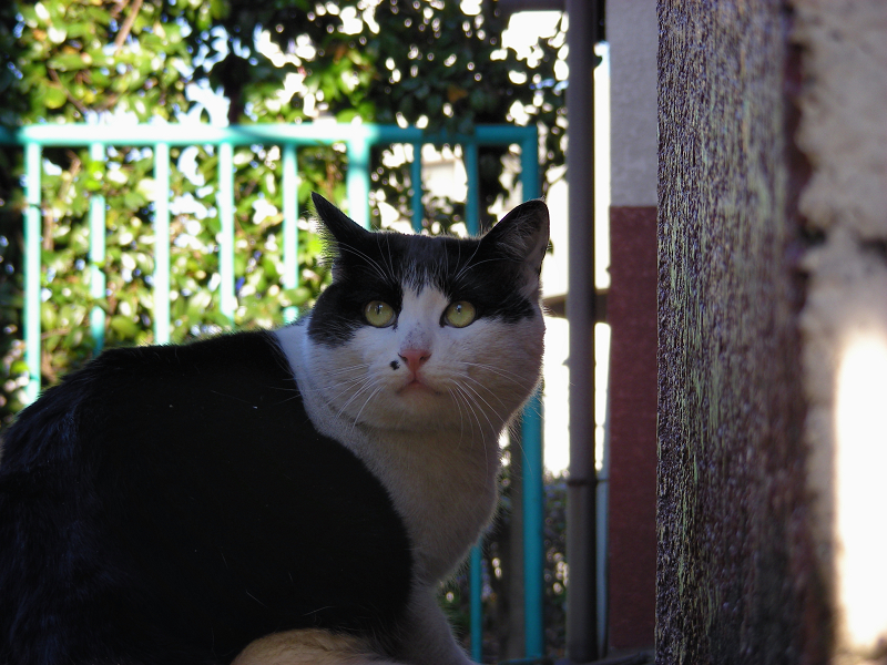 緑の柵と黒白猫2
