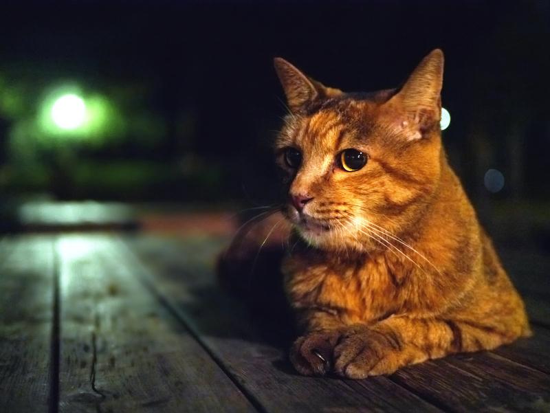 緑の外灯光とサビ柄猫