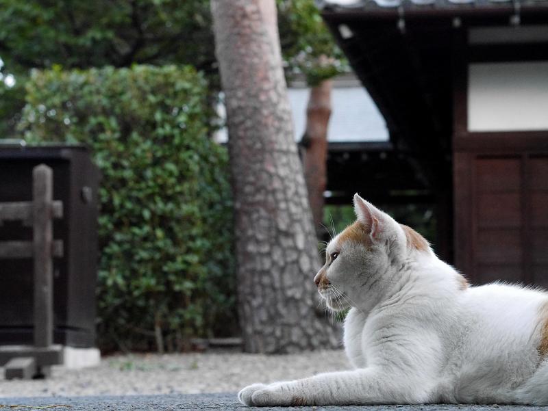 境内転がる茶白猫3