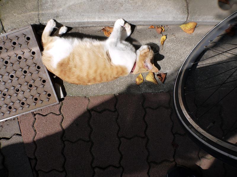 日向ぼっこハイアングル茶白猫1