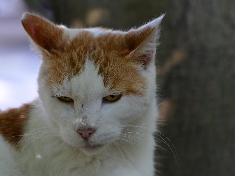 鼻に蚊が止まってる白茶猫2