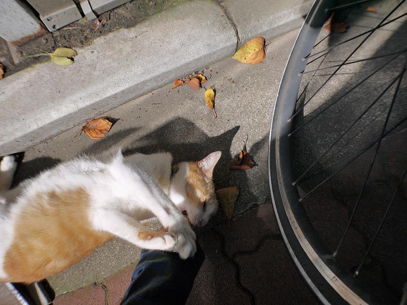 日向ぼっこハイアングル茶白猫4