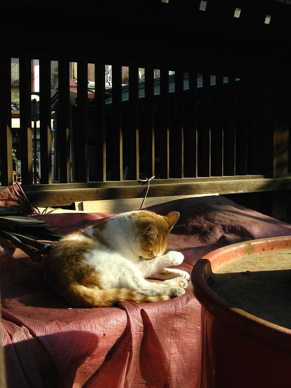 火の用心の茶白猫2
