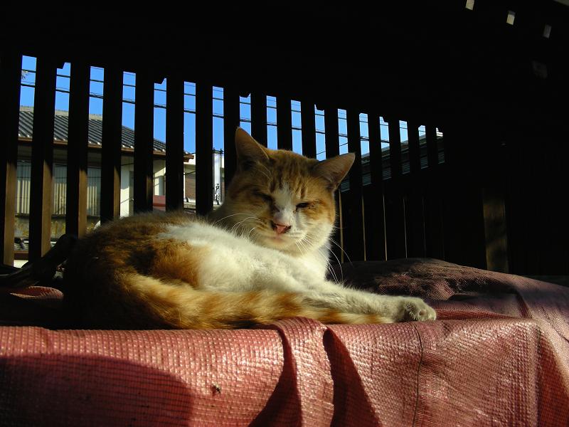 火の用心の茶白猫3