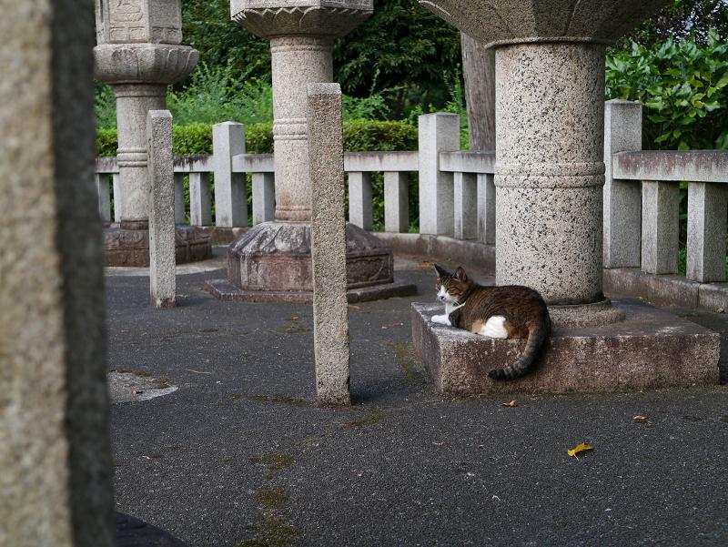 石灯籠とキジ白猫
