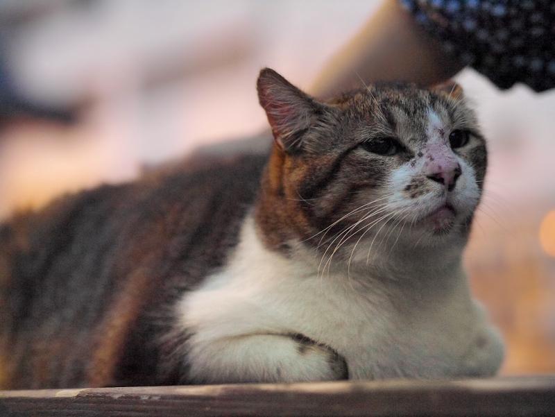 ベンチの上のキジ白猫1