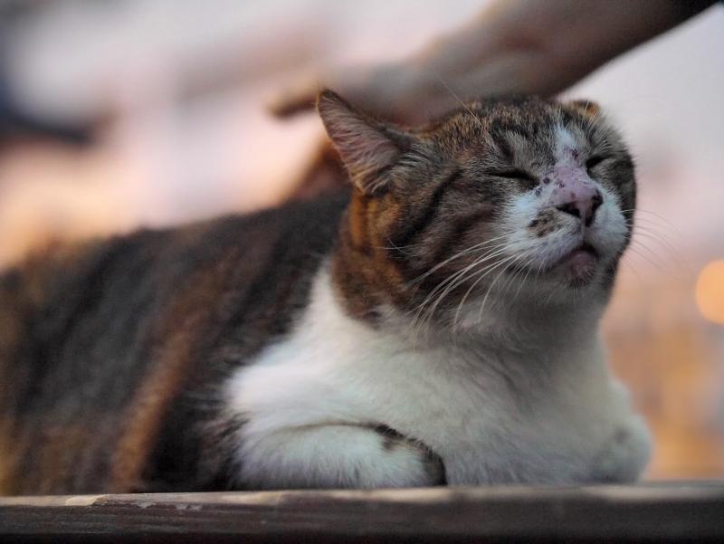 ベンチの上のキジ白猫2