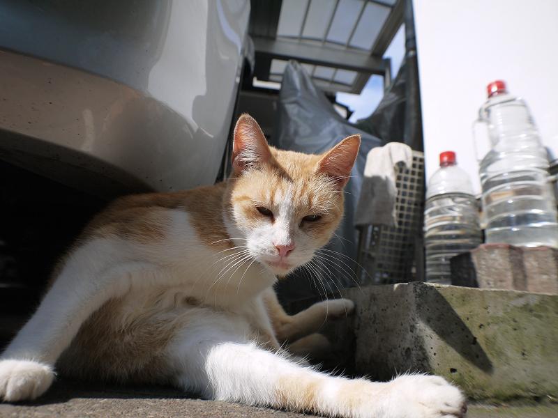 毛づくろい中の茶白猫のローアングル1