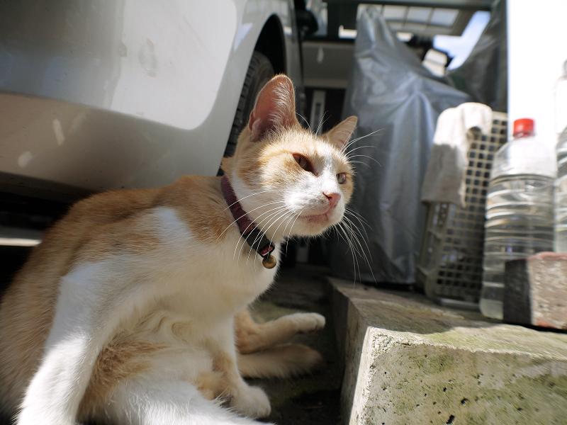 毛づくろい中の茶白猫のローアングル2