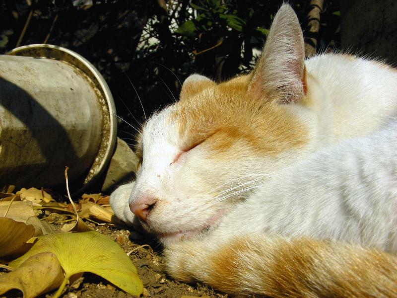 日向で足を毛づくろいする茶白猫3