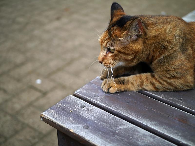 ベンチの上のサビ柄猫1