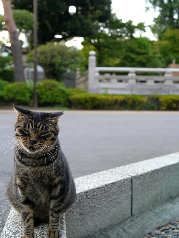 縁石に乗った不愉快気なキジトラ猫