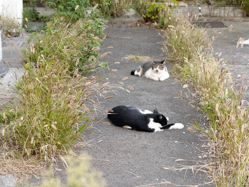 黒白猫を威嚇するキジ白猫1