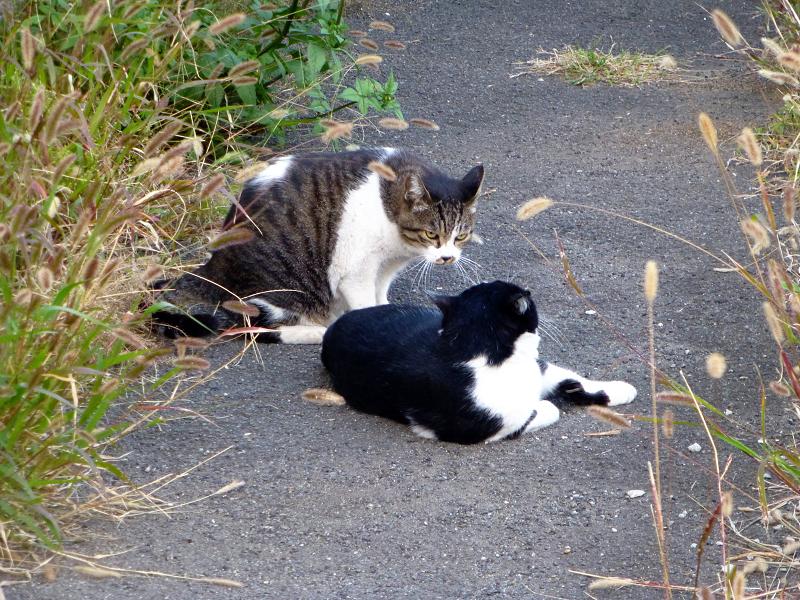 黒白猫を威嚇するキジ白猫2