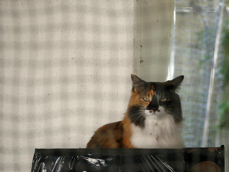 カーテンに囲まれた部屋の毛長の三毛猫