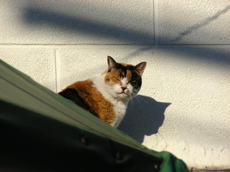 ベージュの壁と三毛猫3