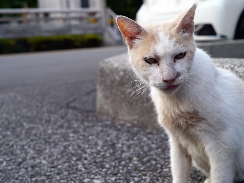 境内であくびする白茶猫2