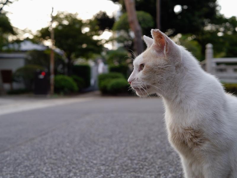 境内であくびする白茶猫3