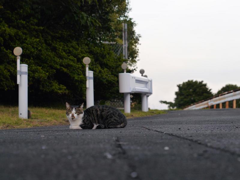 ガードレールとキジ白猫1