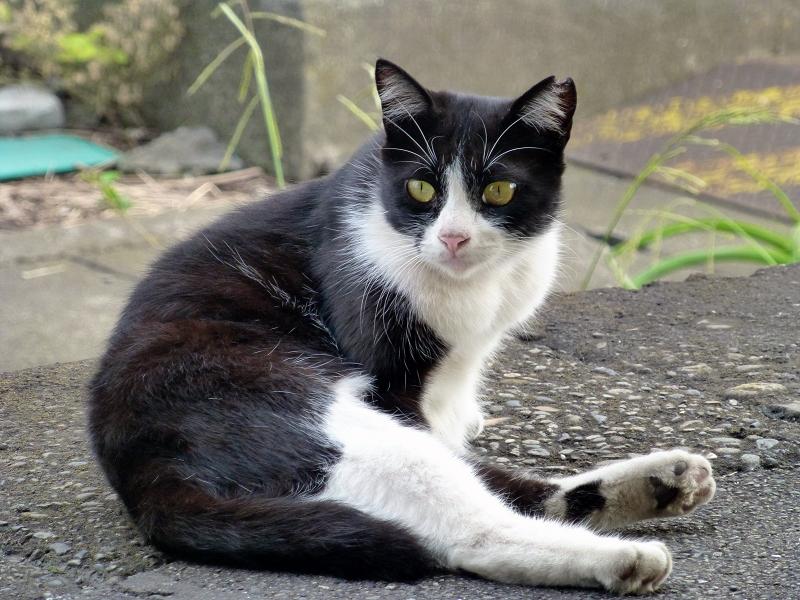 座りながら何かを見ている黒白猫1
