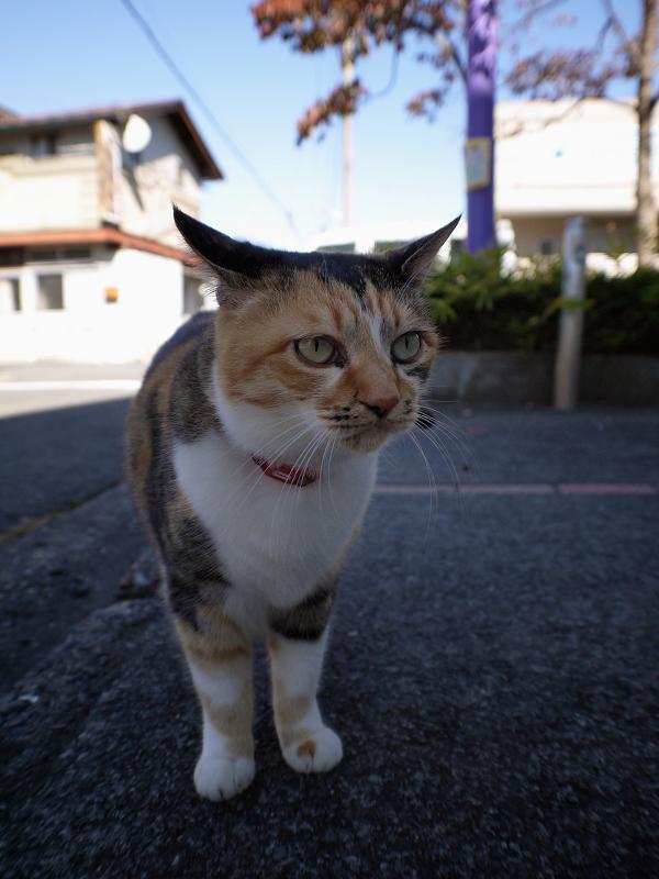散歩中の三毛猫1