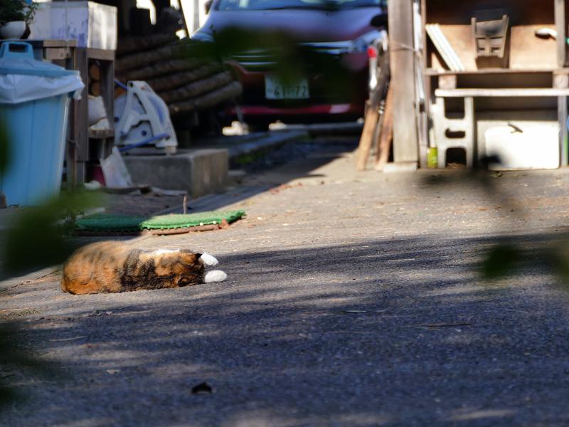資材置き場で転がっている三毛猫1