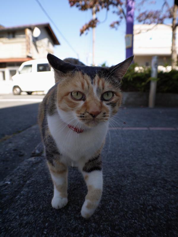 散歩中の三毛猫2