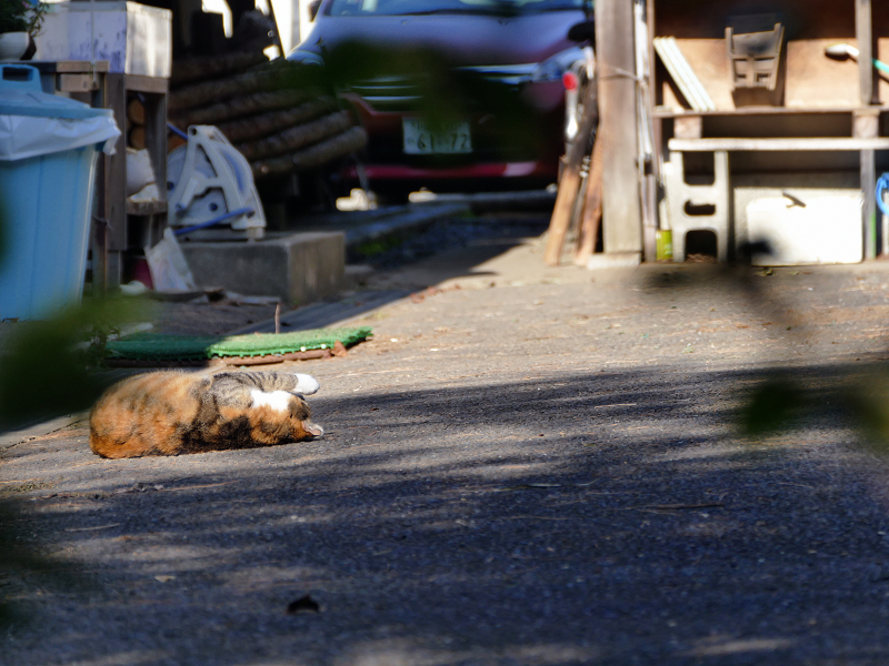 資材置き場で転がっている三毛猫2
