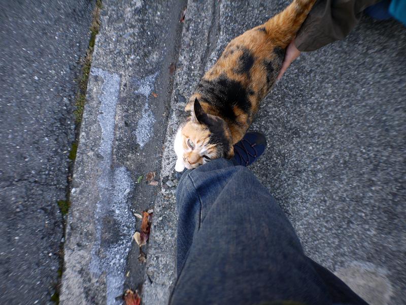 散歩中の三毛猫3