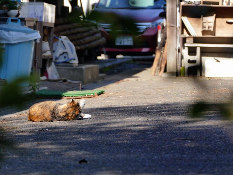 資材置き場で転がっている三毛猫3