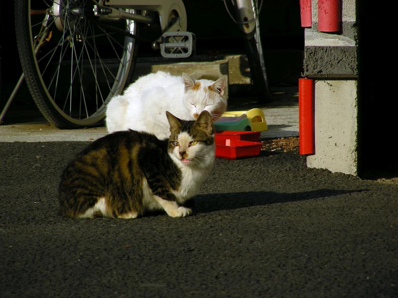 町なかの白茶猫とキジ白猫1