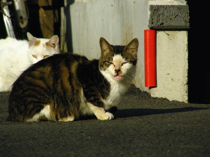 町なかの白茶猫とキジ白猫2